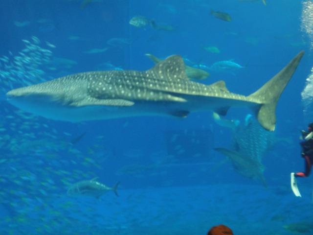 3日目 沖縄に来たら行きたい場所!念願の美ら海水族館!