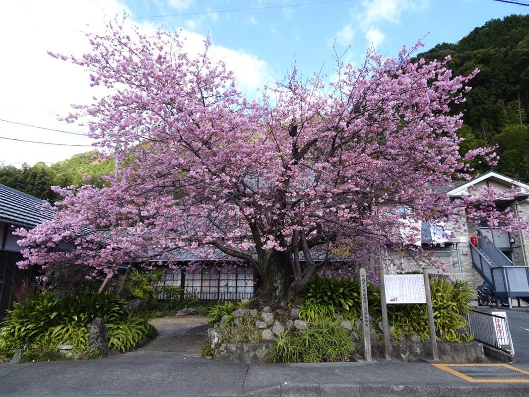 2日目 誕生日旅行 河津桜を観に河津へ!!